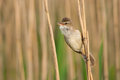 Great reed warbler portrait hanging on to a greenish background Stock Image