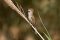 Great reed warbler singing a acrocephalus arundinaceus on a Stock Images