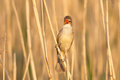 Great reed warbler singing hanging on to a stem and evening light Royalty Free Stock Photo