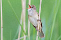 Great reed warbler a is singing from the in lithuania Royalty Free Stock Image