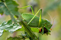 Great singing grasshopper eating bug Stock Image