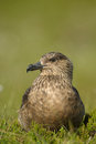 Great skua in northern scandinavia Royalty Free Stock Image