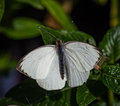 Great Southern White  butterfly with turquoise balls on tips of antenna Royalty Free Stock Photo