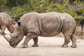 Great southern white rhinoceros portrait of a square lipped Royalty Free Stock Photos
