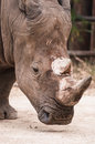 Great southern white rhinoceros portrait of a square lipped Royalty Free Stock Photography