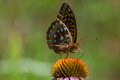 Great spangled fritallary feeding on a wildflower Stock Photo