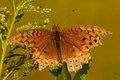 Great spangled fritallary feeding on a wildflower Royalty Free Stock Image
