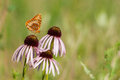 Great spangled fritallary feeding on a wildflower Royalty Free Stock Photography