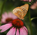 Great Spangled Fritillary Royalty Free Stock Photography