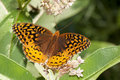 Great Spangled Fritillary Stock Images