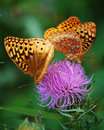 Great spangled fritillary butterflies a pair of fritillaries nectar on a thistle blossom in a virginia meadow Stock Photography