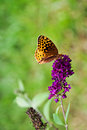 Great Spangled Fritillary Butterfly Stock Image