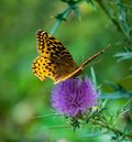 Great Spangled Fritillary Butterfly Feeding on a Bull Thistle Royalty Free Stock Photo