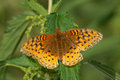 Great spangled fritillary butterfly perched on a leaf Stock Photography