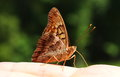 Great spangled fritillary butterfly a resting on a hand Royalty Free Stock Photography