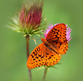 Great spangled fritillary butterfly on a thistle flower with green background Stock Photos