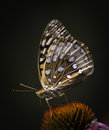 Great spangled fritillary one speyeria cybele on a coneflower Royalty Free Stock Images