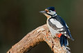 Great spotted woodpecker Royalty Free Stock Photography
