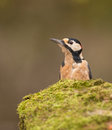 Great spotted woodpecker a close up of a male dendrocopos major sitting on a moss covered stone Royalty Free Stock Image