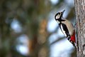 The Great Spotted Woodpecker (Dendrocopos major) Stock Image