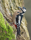 Great spotted woodpecker. (Dendrocopos major) Stock Images