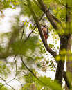 Great spotted woodpecker a dendrocopos major climbs along a branch of a riverine forest tree in spain Stock Images