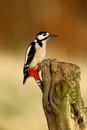 Great spotted woodpecker dendrocopos major single bird on post warwickshire january Stock Photography