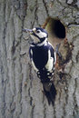 Great spotted woodpecker dendrocopos major single female at nest entrance Stock Photos