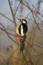 Great spotted woodpecker dendrocopos major single female in tree warwickshire january Royalty Free Stock Photo