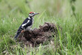 Great spotted woodpecker dendrocopos major single juvenile on ant nest Stock Photography