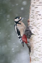 Great spotted woodpecker dendrocopos major single male on silver birch in snow warwickshire january Stock Photo