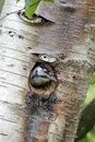 Great spotted woodpecker dendrocopos major single youngster inside nest hole Royalty Free Stock Photos