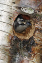 Great spotted woodpecker dendrocopos major single youngster inside nest hole Royalty Free Stock Images