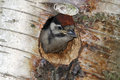 Great spotted woodpecker dendrocopos major single youngster inside nest hole Stock Photo