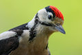 Great Spotted Woodpecker, detail close-up portrait of bird head with red cap, black and white animal, Czech Republic