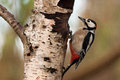 Great spotted woodpecker the in its typical posture Royalty Free Stock Photos