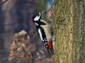 Great Spotted Woodpecker on the tree Stock Photos