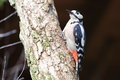 Great spotted woodpecker on the tree Royalty Free Stock Image