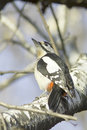 Great spotted woodpecker on a tree dendrocopos major male of Royalty Free Stock Images