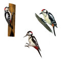 Great spotted woodpecker on a tree middle isolated white background Stock Photo