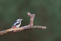 Great spotted woodpecker in tree Royalty Free Stock Photo