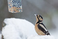 Great spotted woodpecker in wintertime looking at bird feeder Royalty Free Stock Photography