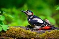 Great spotted woodpecker at work Stock Photography
