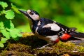 Great spotted woodpecker at work Stock Photo