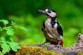 Great spotted woodpecker at work Royalty Free Stock Photo