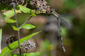 Great spreadwing perched on flowers Stock Images