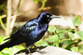 Great-tailed Grackle Stock Photos