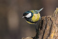Great tit balancing on a dry stub closeup curious parus major clutched tree and looking in camera Royalty Free Stock Image
