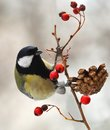 Great tit  on a berried branch Royalty Free Stock Images