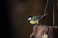 Great tit on a bird feeder Royalty Free Stock Photo